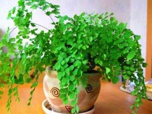 листья адиантума